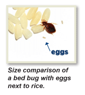 What to do Bed Bugs look like Manhattan, Kill Bed Bugs Manhattan, Bed Bug Treatment Manhattan, Bed Bug Dog Manhattan, How to get Rid of Bed Bugs Manhattan, Bed Bug Heat Treatment Manhattan, Bed Bug Eggs Manhattan, Bed Bug Exterminator Manhattan